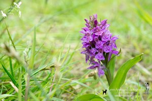 Northern Marsh-orchid - Dactylorhiza purpurella