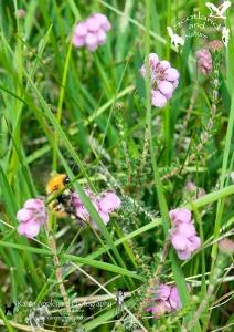 Bumble Bee on Cross-leaved Heather.