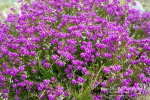 Pretty Purple Heather Beginning To Decorate The Hillsides.