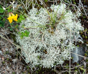 The Lichen, Cladonia portentosa Growing At Glen Lyon, Highland Perthshire.