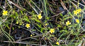 Lesser Spearwort