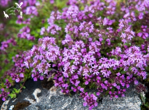 Wild Thyme Creeping Over Rocks. The favourite flower of Fairies.