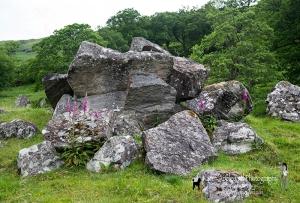 Foxgloves Growing Amongst Rocks & Boulders